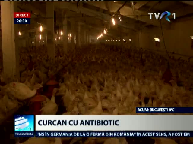 Curcan cu antibiotic, la export