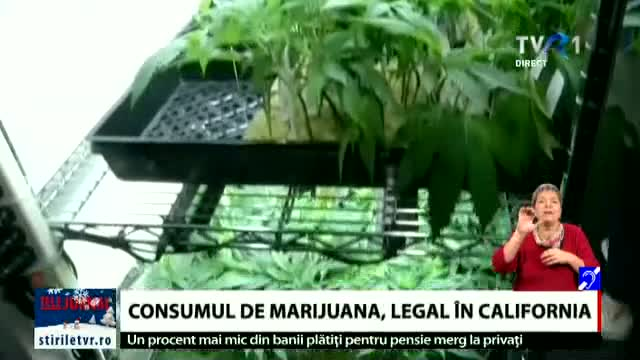 Consumul de marijuana legal în California